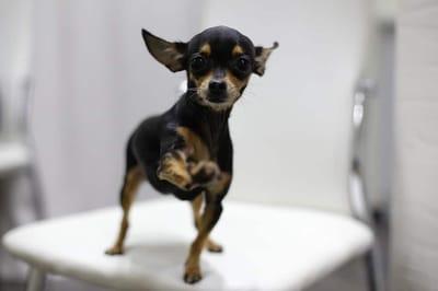 Chihuahua toy dog