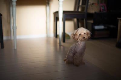 Poodle toy dog