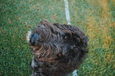 Yeast infections in dogs can be serious.