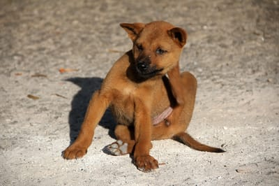 Dogs should be treated regularly against fleas.