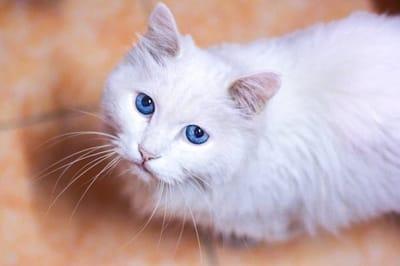 gatto-bianco-con-occhi-blu