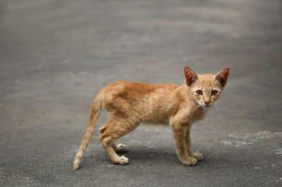 gatto rosso molto magro