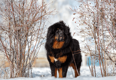 The top X of big fluffy dogs