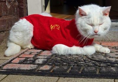 gatto vestito di rosso