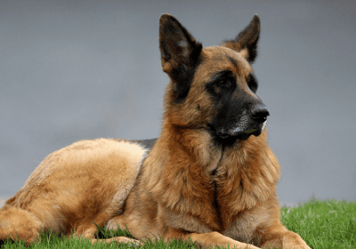 the german shepherd black and brown dog