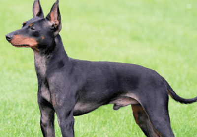 The English toy terrier: black and brown dog