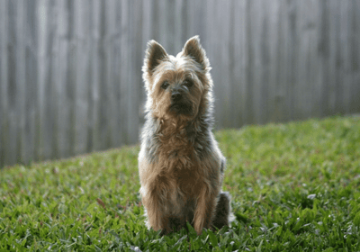 The Australian Silky terrier: black and brown dog