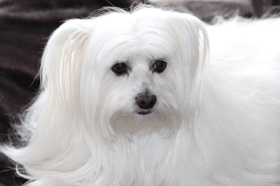 small fluffy dog breed