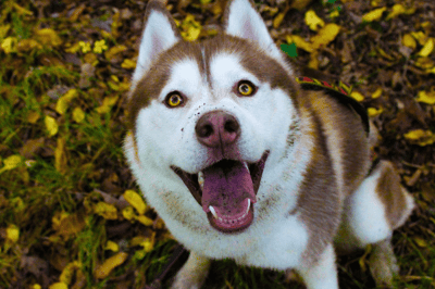 husky-marrone-e-bianco