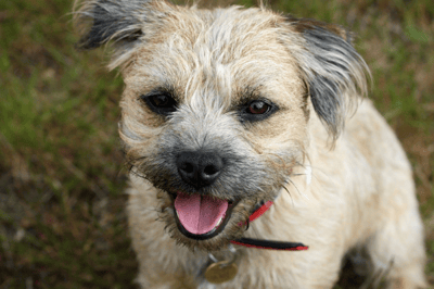 border terrier cross jack russell