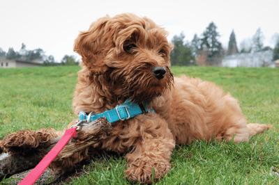 Puppy walking exercises