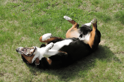 rolling dog
