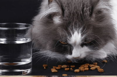 premium cat food and water