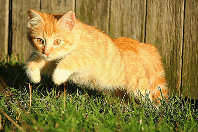 flea can be linked to feline hyperesthesia