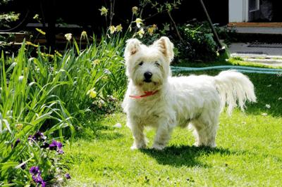 Westie white dog