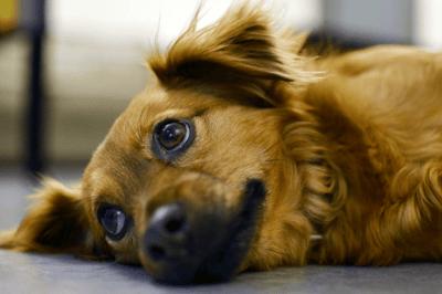 Symptoms of pancreatitis in dogs