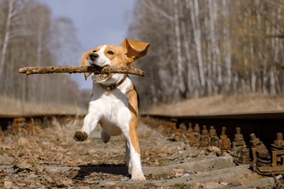 beagle cross