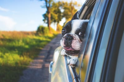 Learn how to prevent dog travel sickness.