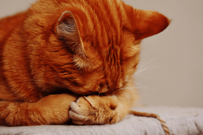 cystitis in cats