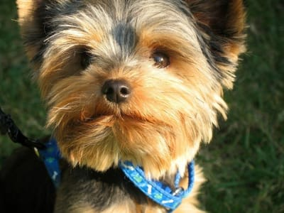 Yorkshire terrier dog.