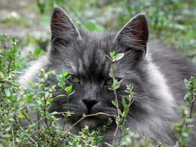 gatto siberiano dietro i cespugli