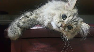 gatto persiano sdraiato sul divano