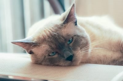 gatto thai sdraiato