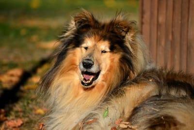 Rough Collie dog.