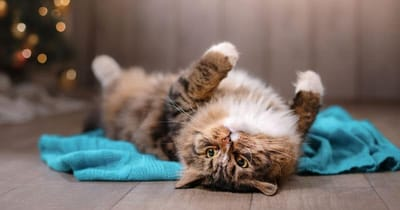 gatto-sdraiato-sottosopra