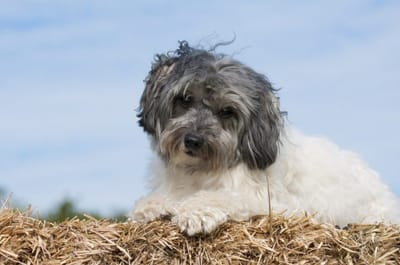 Lowchen dog.