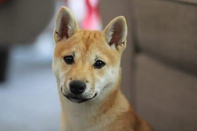Shiba Inu dog.