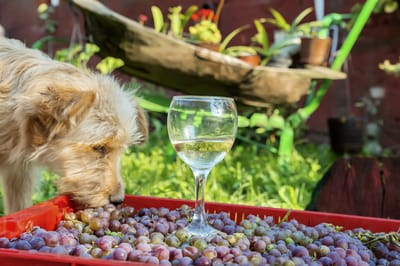 Learn why grapes are bad for dogs.