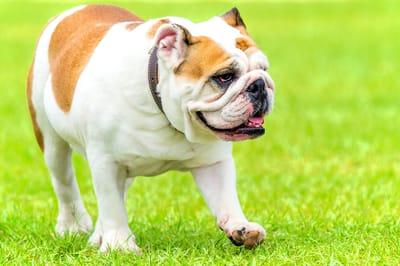 Bulldog-inglese