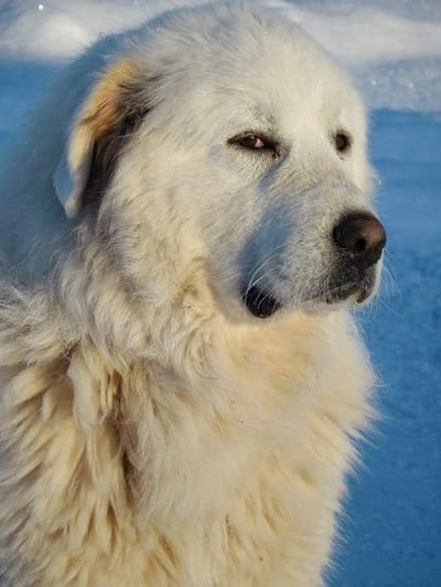 Great Pyrenees dog.