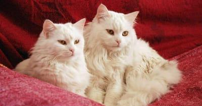 due gatti bianchi con occhi gialli