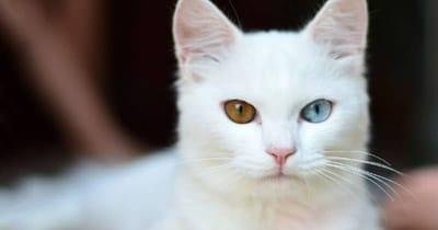 Gatto bianco con due occhi di colore diverso