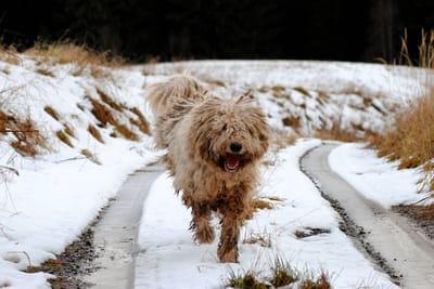 komondor cane di taglia grande