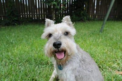 Miniature schnauzer dog.