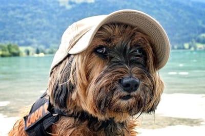 Tibetan terrier dog.