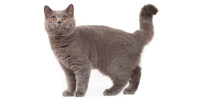 Britisch Kurzhaar - Sheba-Katze