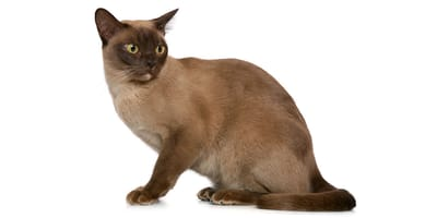 Kot burmski (burmański)