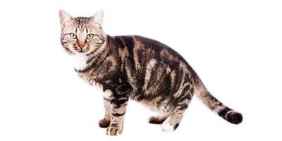 Gatto Europeo