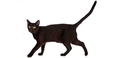 Kot hawański (havana brown)