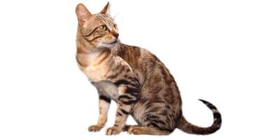 Sokoke Katze