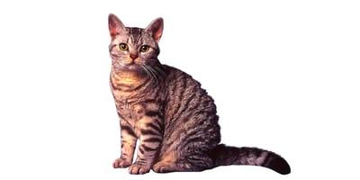 Kot amerykański szorstkowłosy