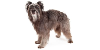 Cane da pastore dei Pirenei a pelo lungo