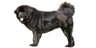 Mastino Tibetano (Tibetan Mastiff)