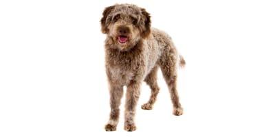 Lagotto Romagnolo (Romagna Water Dog)