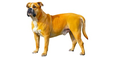 Perro dogo mallorquin