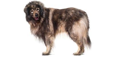 Yugoslavian Shepherd Dog